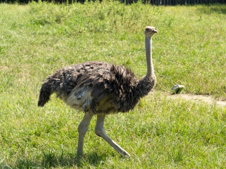 Eye Facts Knowledgeride Ostrich