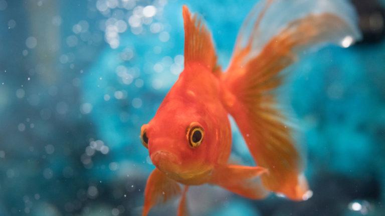 eye fact gold fish